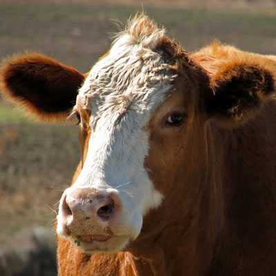 Beef Specializations - Animal Sciences