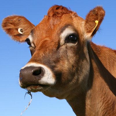 Dairy Specialization - Animal Sciences