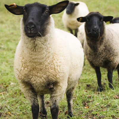 Sheep Specializations - Animal Sciences