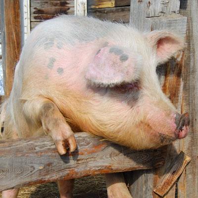 Swine Specializations - Animal Sciences